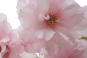 Pink Blossoms 1 by sd-stock
