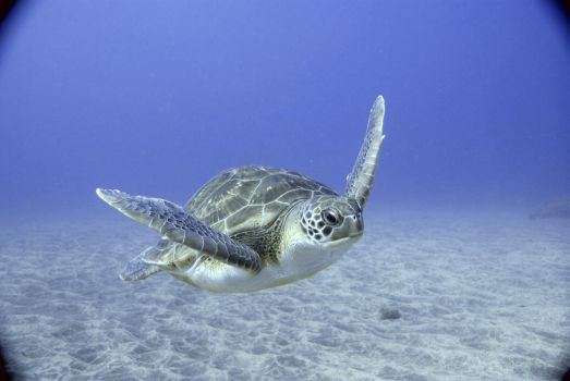 Green Turtle by MissSparkle1