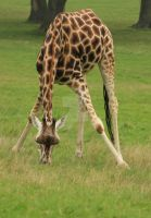 Giraffe 2 by twilliamsphotography