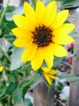 Sunflower 3 by Smilelots3