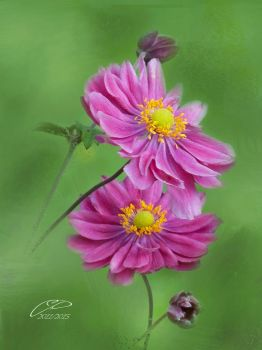 ANEMONES DU JAPON by BELLESYMPHORINE