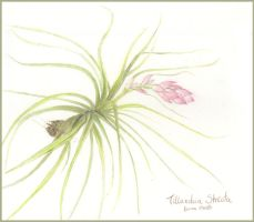Tillandsia stricta by sugarcub