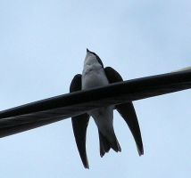 A Tree Swallow by JocelyneR