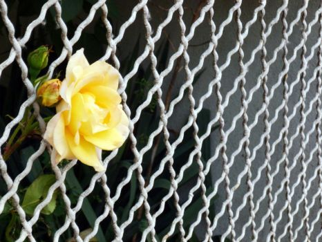 Yellow flower escaping the metallic fence by Rubombee
