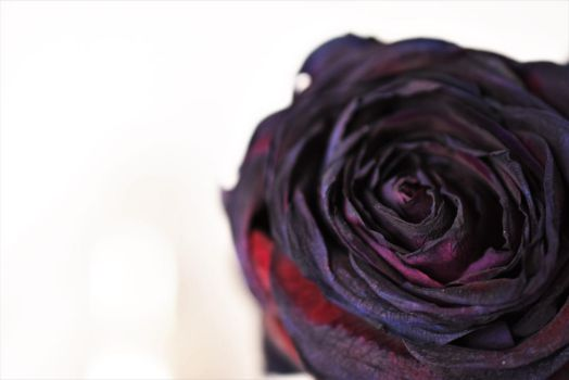 Black Rose by sisikey