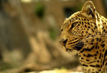 LEOPARD by martybell