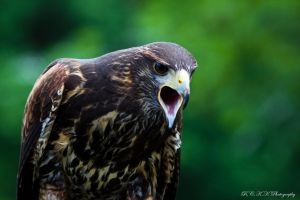 Eagle_ scream_2 by PiTurianer