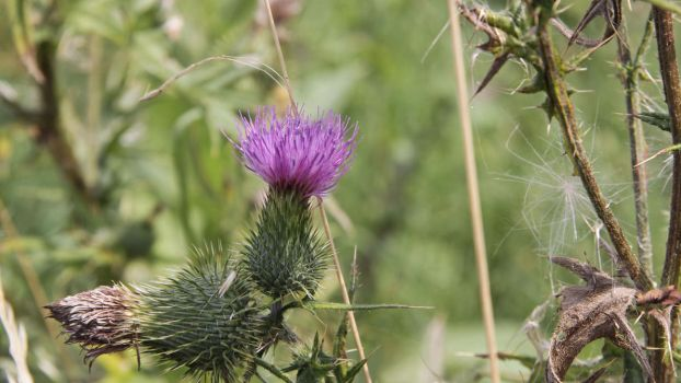 Thistle by UdoChristmann