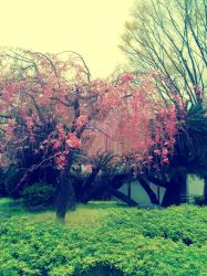 A weeping cherry tree by 4eknight11