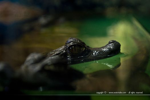 Alligator Eye by aviatStudios