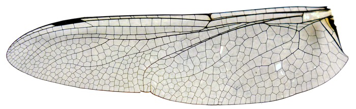 large dragonfly wing stock (cut out) .png by imthinkingoutloud