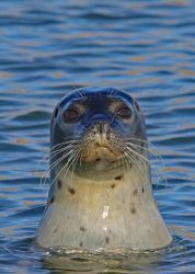 Seal 29-9-18 by pell21
