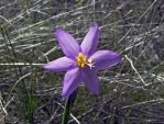 Camas Lily by TRunna