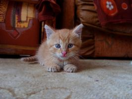 Ginger cat by onecherry