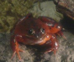Oregon Spotted Frog 001 by Elluka-brendmer