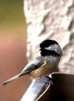 Chickadee 2 by El-Sharra