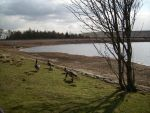 Flock of Canada Geese 2 by Isavarg