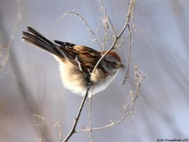Hungry little Sparrow by natureguy