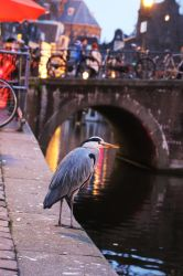 Blue Heron in Amsterdam by AKrukowska