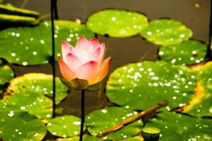 Perfect Water Lilly by tjohare