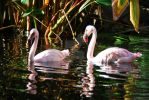 Flamingos by oddjester