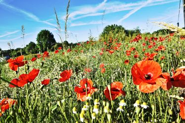 Poppies in the sun by Real-Neil