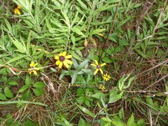 Black Eyed Susans by JennysTags