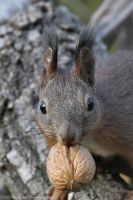 Sciurus vulgaris by RichardConstantinoff