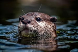 River Otters 6 by CharlesWb