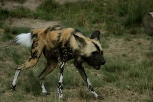 African Wild Dog 4 by Canisography