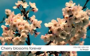 Cherry Blossoms Forever by Bergsjo