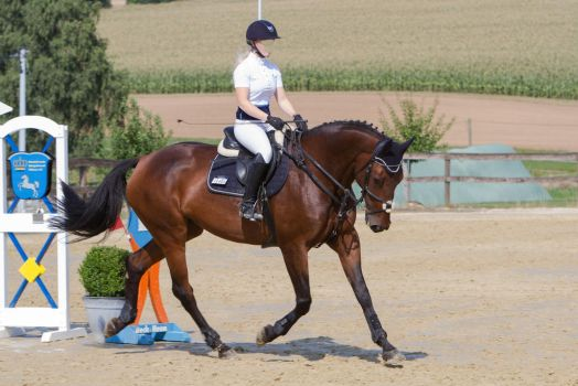 Beautiful Darkbay Show Jumping Mare Trotting by LuDa-Stock