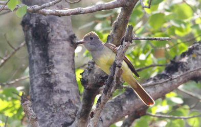 Great crested Flycatcher - Myiarchus crinitus by Spirit-whales