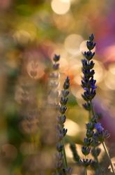 LAVENDER by chiquita70