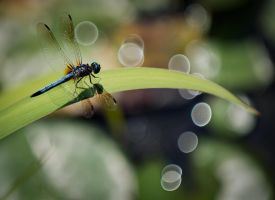 Dragon Fly Enjoying the View by peterohara