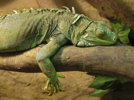 Iguana sleep by shtoormann