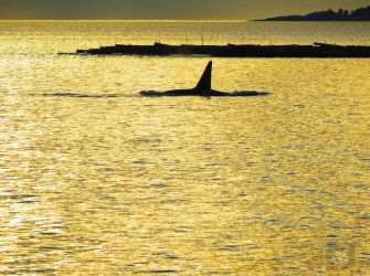 Killer Whale Going Past Log Barge by wolfwings1