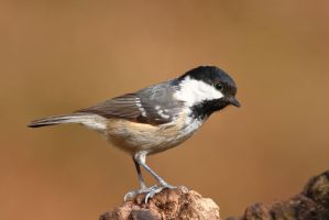 Coal Tit 9-3-18 by pell21