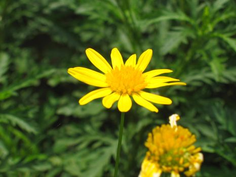 DAS004-Daisy by Andre-S-C-Stock