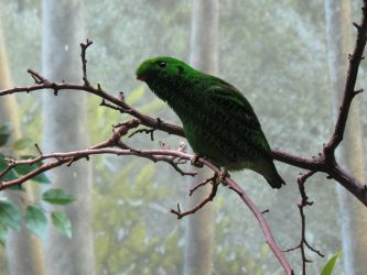 Male Lesser Green Broadbill LPZ 2 by loverofmythology
