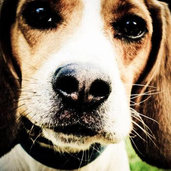 Beagle Close-up by OneLttle1