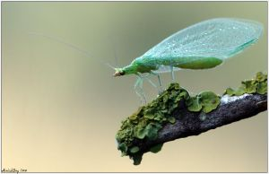 Green Lacewings by AimishBoy