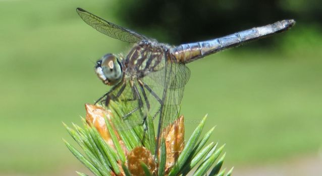 Dragonfly by Charlief43