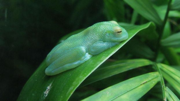 Glass Frog by InsaneandSexy