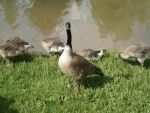 Ducks and Geese 8 by MindlessAngel