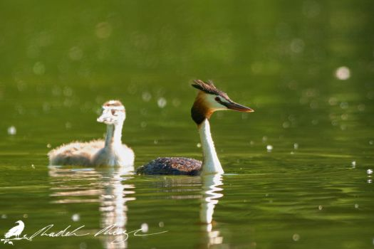 Cub with Great crested grebe (Podiceps cristatus) by PhotoDragonBird