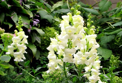 white snapdragons by laurelrusswurm