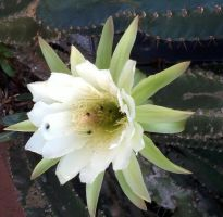 Cactus Flower by Guadisaves02