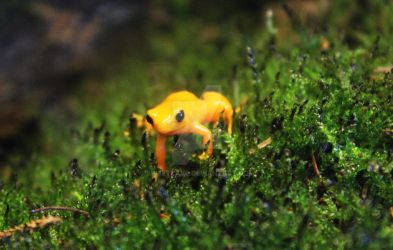 Poison arrow frog by sweetlave