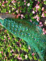 Stock 294: peacock in flowers by AlzirrSwanheartStock